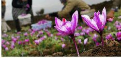 برای تولید 1 کیلو زعفران به حدود 300 هزار گل زعفران نیاز است!  ارزش گِرَمی زعفران از طلا هم بیشتر است چون گیاه زعفران تنها برای یکی دو هفته در پاییز گل میدهد و هر گل تنها سه عدد کلاله دارد!