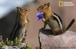سنجاب ها هم مثل آدم ها به هم گل میدن برای ابراز محبت؛ قربون دل مهربونشون