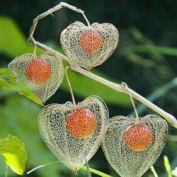 این گیاه که فانوس چینی نام دارد، به عنوان نماد زندگی پس از مرگ معروف است. این گیاه در زمستان شکوفه می دهد و در بهار خشک می شود و فقط میوه اش داخل گلبرگ خشک باقی می ماند