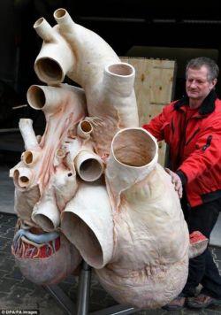 قلب ۲۷۲ کیلوگرمی نهنگ آبی در یک موزه