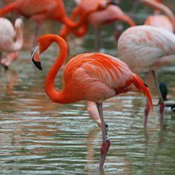 پرنده فلامینگو قادر است با سرعتی حدود ۵۵ کیلومتر در ساعت پرواز کند. این پرنده در یک شب حدود ۶۰۰ کیلومتر مسافت را طی می کند.