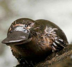 پلاتی پوس حیوانی بسیار جالب که نوکی شبیه به اردک وبین انگشتان دارای پرده است. با اینکه تخم گذار است اما درعین حال پستاندار نیز است و بچه هایش را پس از خروج از تخم شیر می دهد.