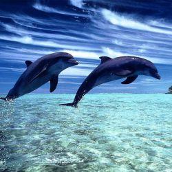 انسان از بدو تولد به طور نا آگاهانه نفس میکشد اما نفس کشیدن برای دلفین ها تلاشی آگاهانه است و هر موقع حس کنند زندگی برایشان غیرقابل تحمل است،با نفس نکشیدن به زندگی خود پایان میدهند!