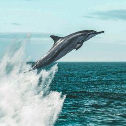از صدای موج سرشارند و با ساحل دچار، گوش ماهی ها چه میفهمند اقیانوس را !  #دلفین#دریا