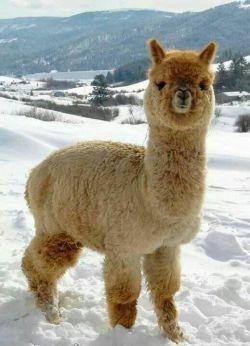 آلپاکا، گونه ای بامزه از ترکیب نژاد گوسفند و شتر