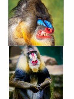 میمون مندریل خشن ترین میمون جهان   به هنگام خشم ظاهری ترسناک دارد که آنرا از بقیه میمون ها متمایز میکند  به دلیل درشت جثه بودن این حیوان و شباهت دستهایش به دست انسان درگذشته هیولا و دیو شناخته میشد