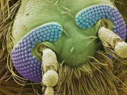 تصویر ثبت شده از سر یک پشه با میکروسکوپ الکترونی