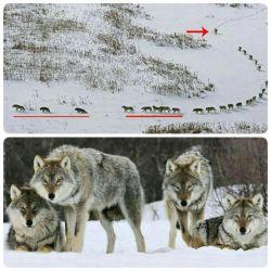 در گله گرگها 3 گرگ اول پیر یا بیمار هستند تا از گله عقب نمانند. پنج گرگ بعدی قویترنها هستند. بقیه اعضای عادی گروه و گرگ آخر، رهبر گروه (گرگ نر آلفا) است تا بتواند مسیر و خطرات را کنترل کند!