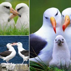 مرغ های دریایی آلباتروس، میتوانند بیشتر از 50 سال زندگی کنند و در پنج سالگی، جفت گیری میکنند.  آن ها به مدت بیشتر از 45 سال با همان شریک اول زندگیشان ادامه میدهند که این رابطه، طولانی ترین رابطه در دنیای حیوانات است.