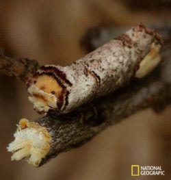 """نوعی حشره بید به نام """"بید سر چوبی"""" به طرز فوق العاده ای خود را در طبیعت استتار می کند"""
