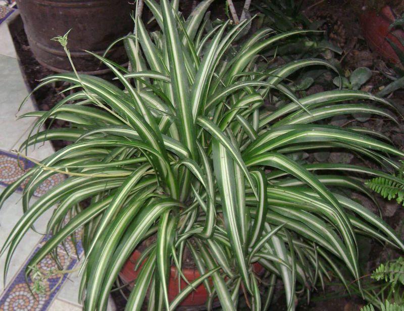 در خانه گل عنکبوتی نگه دارید!  این گیاه  ۹۰٪ از ماده شیمیایی فرمالدئید که سرطان زا است را از هوا پاک می کند و دود و بو را ازبین میبرد.