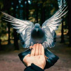 شکوه آفرینش  ظرافت و ترکیب رنگ و نظمی که در این کبوتر زیبا هست واقعا دیدنی است