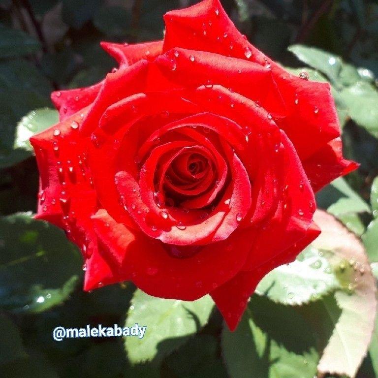 سلام دوستان الهی امروزتون از همیشه شادتر لحظه هاتون از همیشه شیرین تر حالتون ازهمیشه بهتر غصه هاتون دونه به دونه پر پر وعیدتون مبارک باشه... صبحتون بخیرو خوشی ... این گل هم تقدیم به شما