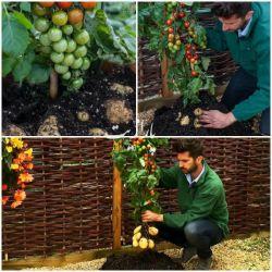 عجیب ترین پیوند گیاهی در جهان !  به تازگی در انگلستان نوعی گیاهی پیوندی به عمل آورده اند که در بالای خاک گوجه و در زیر خاک سیب زمینی میدهد,که میتواند 500گرم گوجه و 30 عدد سیب پرورش دهد !