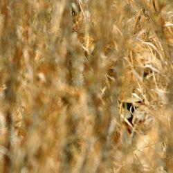 شیرها   پنهانی شکار را تعقیب میکنند تا آنکه به فاصله تقریبی ۳۰ متری آن یا کمتر برسند  حمله کوتاهمدت و قوی است و آنها اغلب با یکبار حمله طعمه را میگیرند
