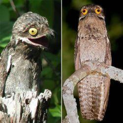 پرنده پوتوس با چشمان جالب، این پرنده توانایی فوق العاده ای در استتار بر روی درختان دارد.