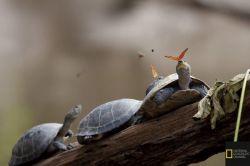دلیل این بوسه ى عاشقانه پروانه بر صورت لاکپشت نوشیدن اشک هاى لاکپشت مى باشد، پروانه از این طریق سدیم مورد نیاز بدنش را تامین مى کند.