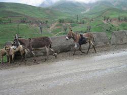 جاده تهران به بروجرد بزغاله تازه متولد شده در خرجین خر کوچولو :) #hamrah1