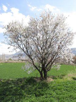 شکوفه درخت بادام - گلپایگان
