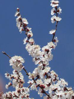 شکوفه بادام