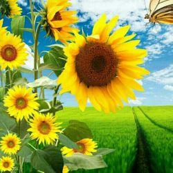 همراهی گل با آفتاب