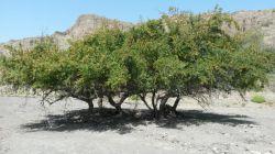 درخت صدر اسم محلی کنر شهرستان قصرقند