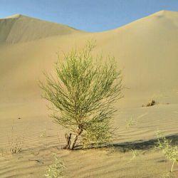 دوستان در این دشت بیش از یک ساله بارون نباریده ودمای هوا الان۴۵cاست ودر حیرتم از مقاومت این درخت  سبحان الله
