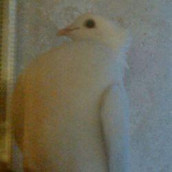 اینم یه عکس از کبوترم