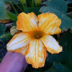 گل کدو