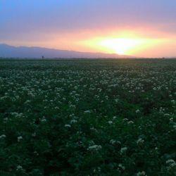 غروب امروز، مزرعه سیب زمینی، اردبیل