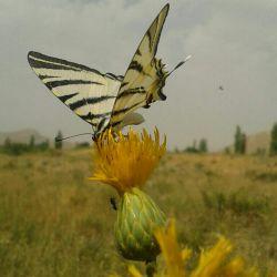 پروانه اگر عاشق باشد بر شانه هایت مینشیند