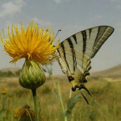 تیرماه 93 جاده سراب قروه .پروانه ریبا یی که بیش از سی عکس برایم ژست گرفت تا تقدیمتان کنم