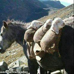 وانت جدید حمل گوسفند