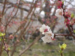 شکوفه های زیبای درختان در شهرستان جیرفت@Kerman     #hamrah1
