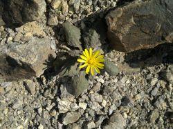گلی زیبا در منطقه کویر لوط
