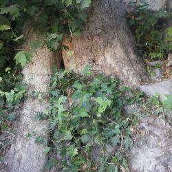 قدیمیترین بزرگترین درخت چناراردبیل,مشگین شهر,روستاى اونار,قدمت١200سال