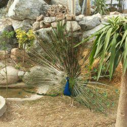 این طاووس خیلی فیس میکرد