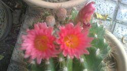 گل کاکتوس