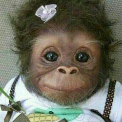 میمون ناز