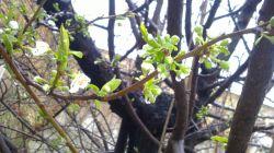 باران بهاری و شکوفه الو