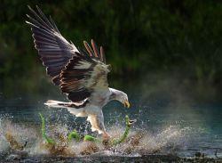 لحظه شکار مار توسط عقاب