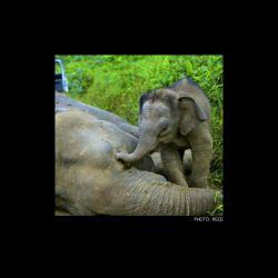 عزاداری بچه فیل در مرگ مادرش. به گفته دانشمندان حیات وحش طبق مستندات تنها حیواناتی که پس از مرگ همنوعانشان عزاداری میکنند فیلها هستند. انها به دور جسد همنوع خود جمع میشوند و حتی گاه میگریند....