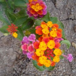 گل رنگا بارنگ