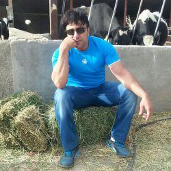 تنها در میان گاوها