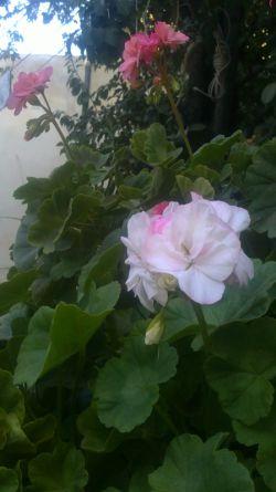 گل های شمعدانی