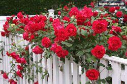 دوستت دارم را من دلاویزترین شعر جهان یافته ام , این گل سرخ من است دامنی پر کن از این گل که دهی هدیه به خلق که بری خانه ی دشمن , که فشانی بر دوست راز خوشبختی هر کس به پراکندن اوست ... ( فریدون مشیری )