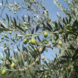 درخت ومیوه زیتون
