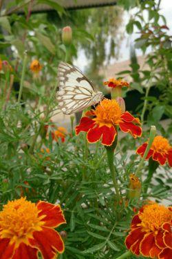 سلام صبح همگی بخیر. اینم یه پروانه ی خوشکل که خودم شکارش کردم :-) چطوره؟