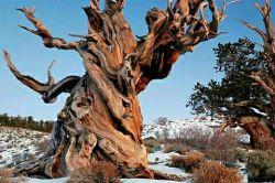 4860 year old tree in California درخت 4860 ساله در کالیفرنیا