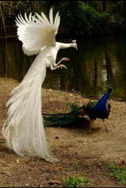 پر طاووس انقدر زیباست که لای قرآن هم میزارن